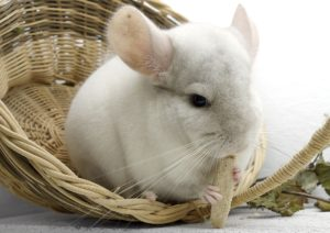 Was fressen Chinchillas